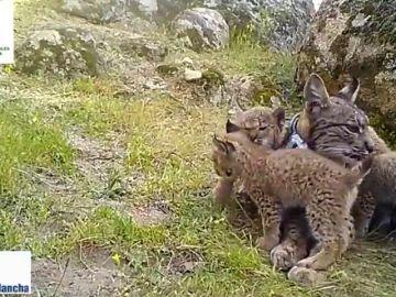 Naturaleza: Nacen cuatro crías de Lince Ibérico en los Montes de Toledo