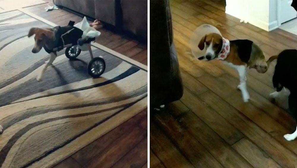 Perro sin piernas adora correr