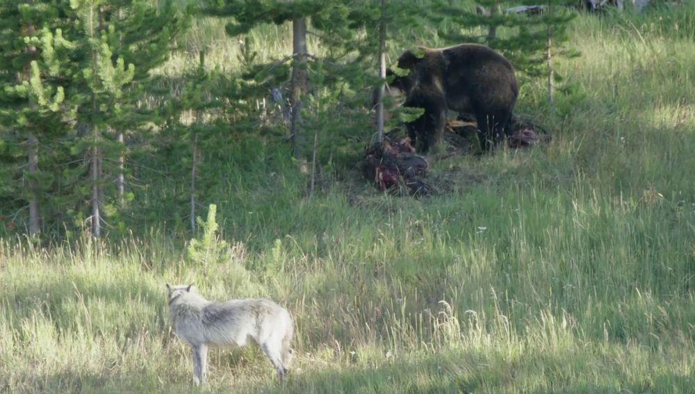 Lobo enfrentándose a un oso