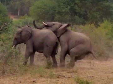 Elefantes teniendo sexo