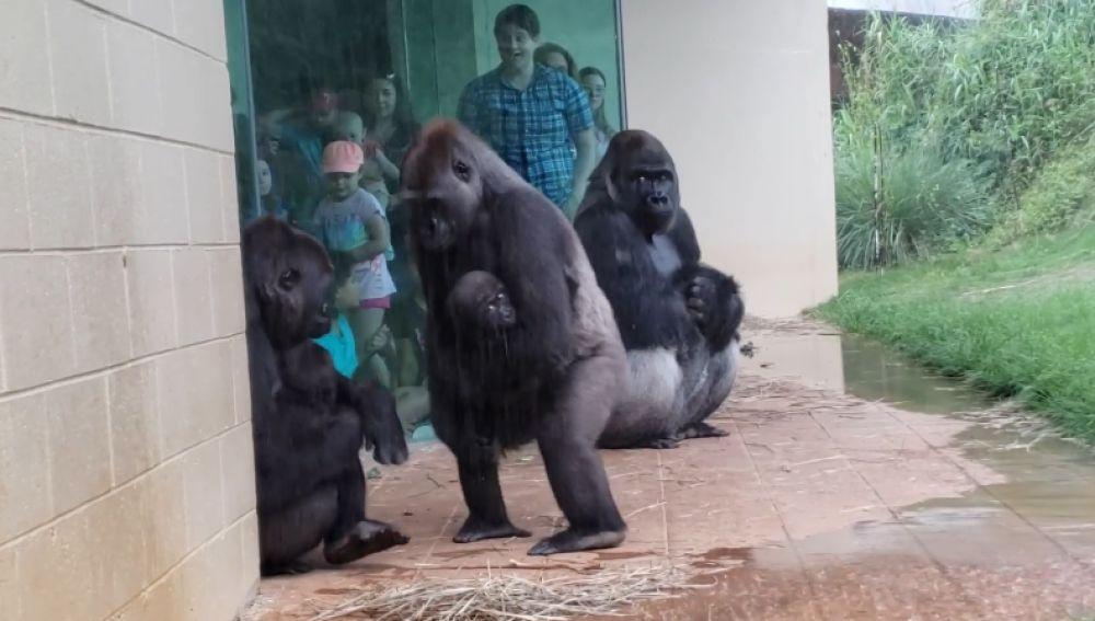 Un grupo de gorilas intentan escapar de la lluvia para proteger a sus crías