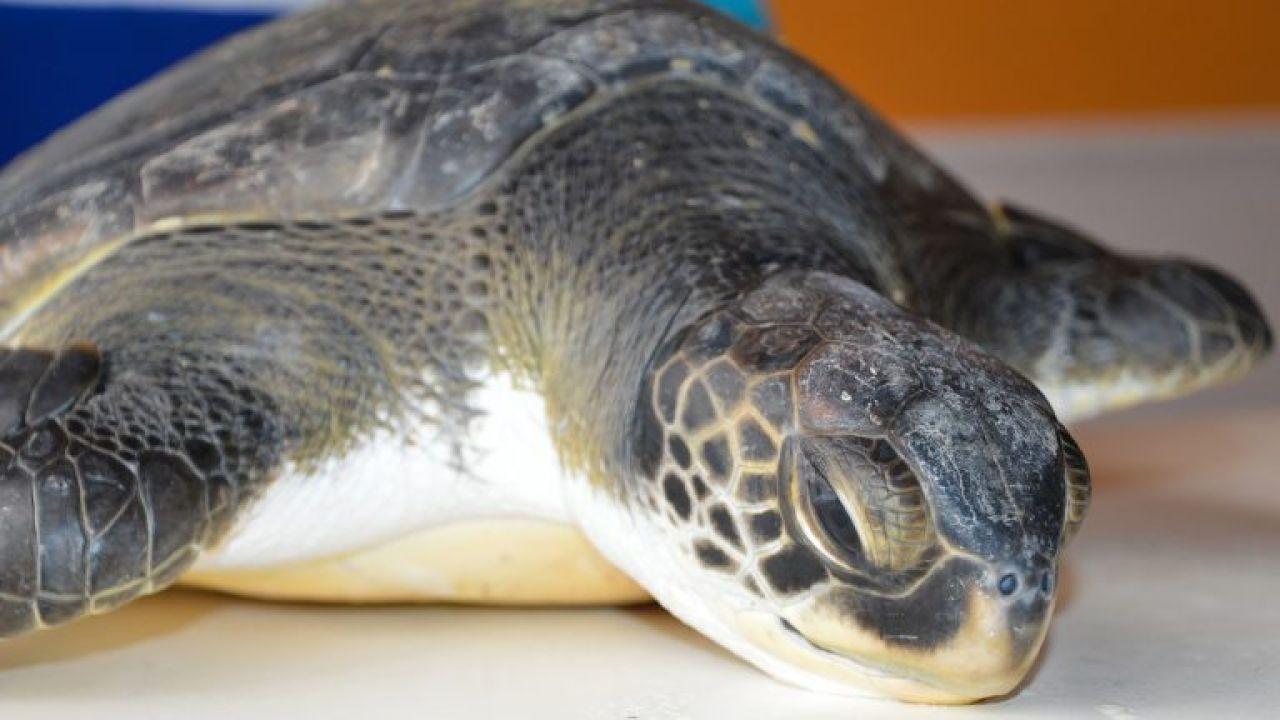 VÍDEO: Graban A Una Tortuga Defecando Grandes Cantidades