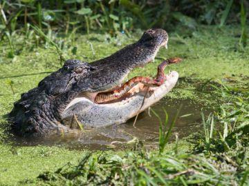 Pelea entre un caimán y una serpiente