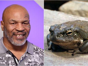 Mike Tyson y el sapo Bufo Alvarius