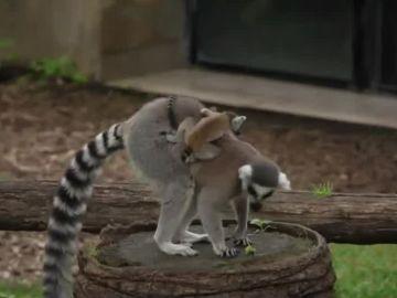 Dos lemures nacen en el zoo de Roma.