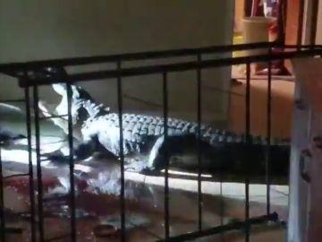 Una mujer de 77 años encuentra un caimán de 11 pies en su casa