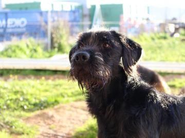 Tristán, el perro perdido en Oviedo
