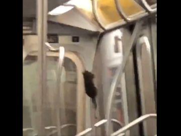 La rata deslizándose por la barra