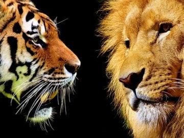 Tigre y león
