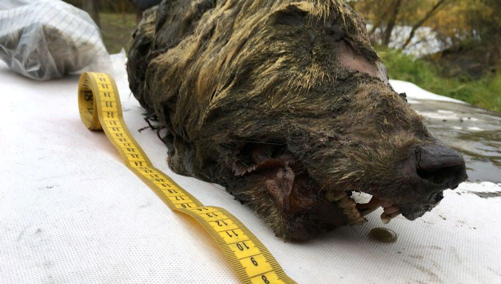 Encuentran la cabeza de un lobo gigante de hace 40.000 años