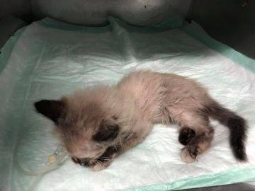 La gatita ingresada en el veterinario