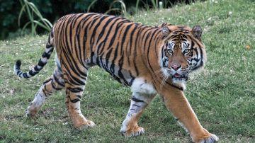 Tigre (Archivo)