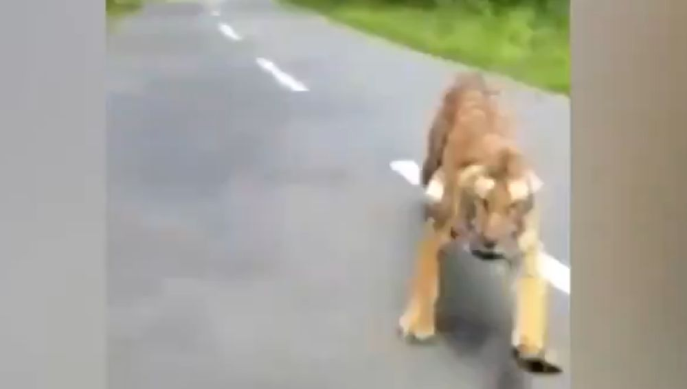 Un tigre ataca a un motorista en la India