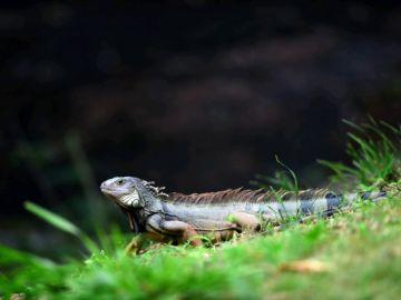 Muere un hombre tras comer un lagarto en Australia
