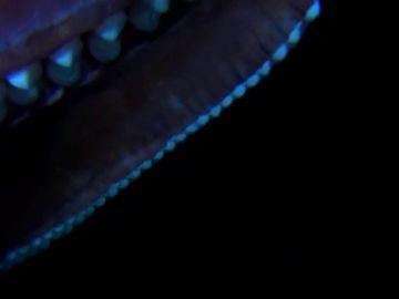 Graban por primera vez un calamar gigante en aguas canarias