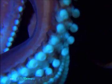 Graban por primera vez el 'kraken' de El Hierro