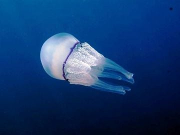 Medusa Rhizostoma pulmo (Dario Romeo)