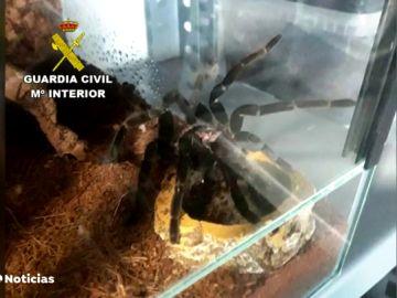 Descubren más de 400 tarántulas en un domicilio en Castellón