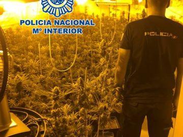 Plantación de marihuana en El Padul (Granada)