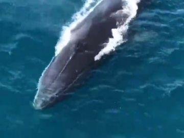 Graban a tres de ballenas en las aguas de Denia