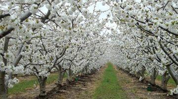 El valle del Jerte cubierto de la flor del cerezo