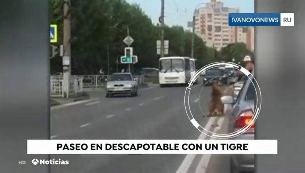 Un tigre salta de un descapotable en Rusia