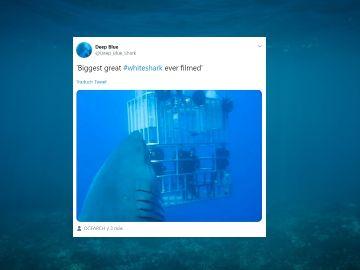 Twitter del tiburón Deep Blue