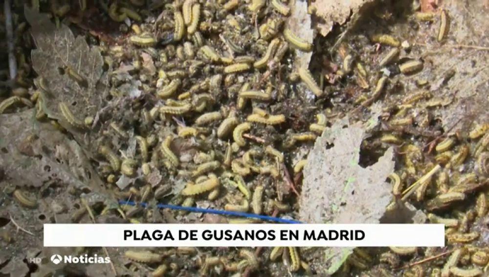 Alerta por una plaga de gusanos en el barrio madrileño de Ciudad Lineal