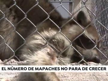 La presencia de una familia de mapaches causa el pánico entre los vecinos de Coslada