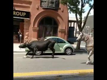 Capturan a un toro de cuernos largos con caballos en Colorado