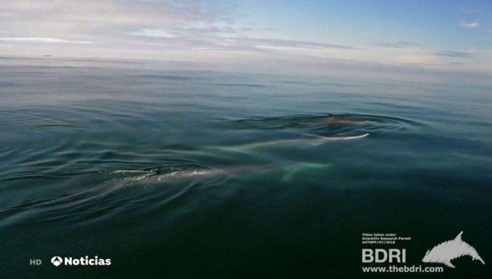 Tres ballenas de aleta avistadas en las costas gallegas