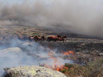 Manada de Caballos en el Incendio de La Granja