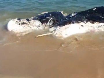 Una ballena muerta obliga a cerrar una playa en Mataró
