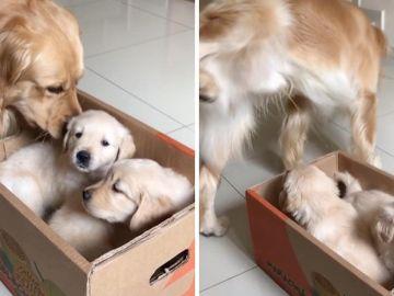 Golden Retriever conoce cachorros