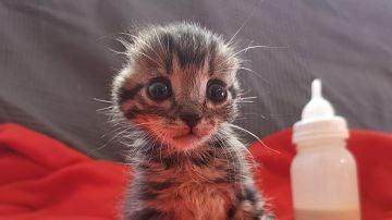 Nano, el gato con las orejas mutiladas