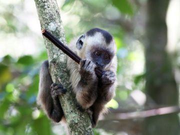 Imagen ilustrativa de un mono capuchino