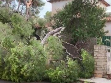 Árboles caídos por la lluvia en Mallorca