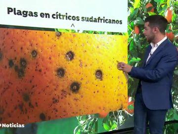 Los agricultores valencianos alertan de la llegada de cítricos contaminados