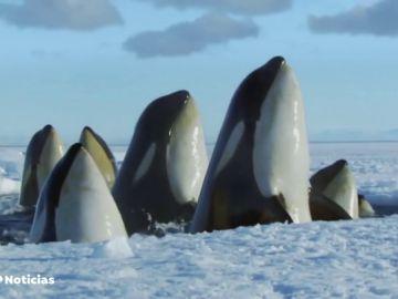Ballenas en el polo