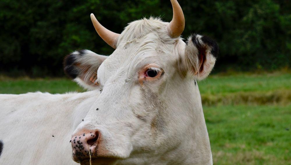 Imagen ilustrativa de una vaca