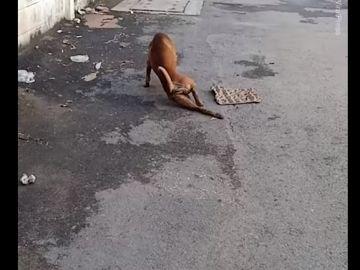 El perro que camina arrastrando la pata en Tailandia