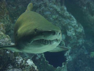 Imagen ilustrativa de un tiburón