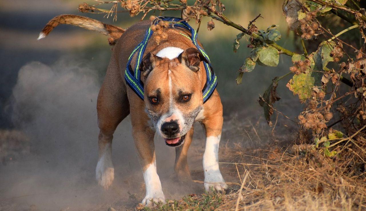 Perro American Staffordshire