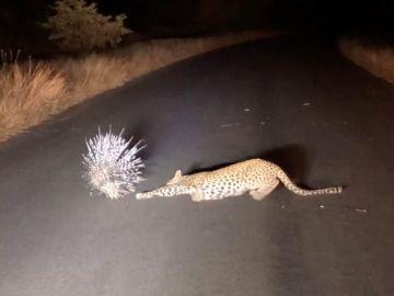 Leopardo y puercoespín