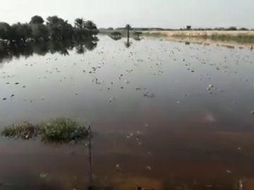 Plantación de melones anegada por las lluvias de la DANA en el parque agrario de Carrizales de Elche.