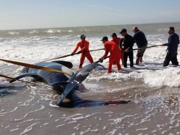 Una orca varada en una playa de Argentina