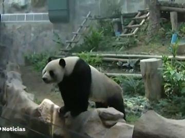 nuevo panda