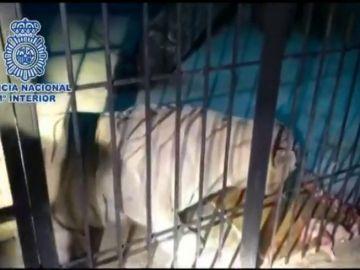 Detienen a una pareja que traficaba con droga y que tenía un tigre albino por mascota