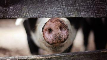 Imagen de archivo de un cerdo