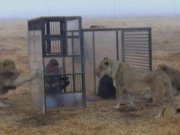 Jaula para ver leones